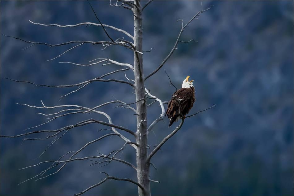 Eagle fishing in Banff - © Christopher Martin-5253