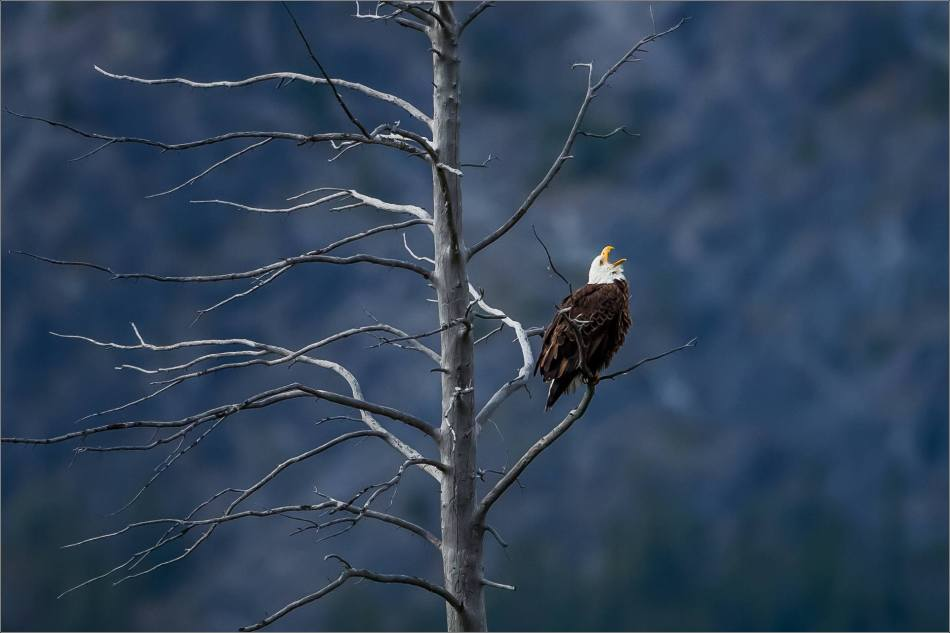 Eagle fishing in Banff - © Christopher Martin-5253