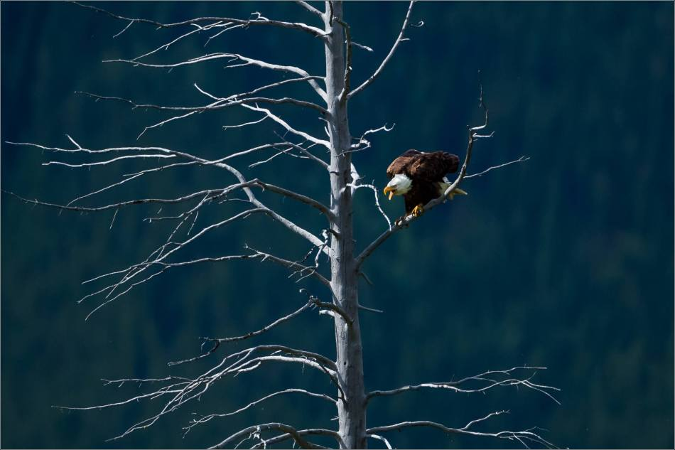 Eagle fishing in Banff - © Christopher Martin-5420