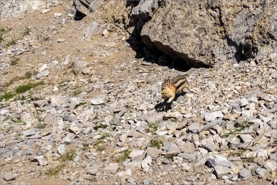 Golden-mantled ground squirrel on the run- © Kian Martin-3445