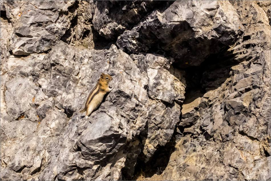 Golden-mantled ground squirrel on the run- © Kian Martin-3486
