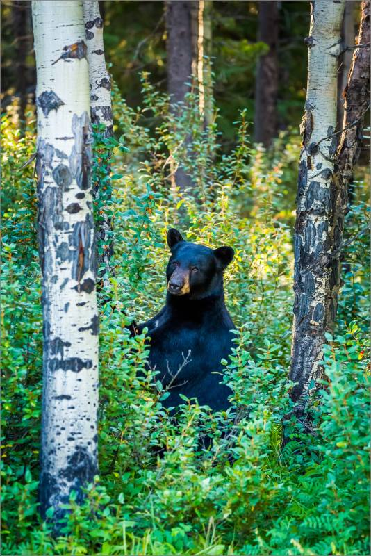 Kananaskis Black bear in Buffalo berries - © Christopher Martin-0908