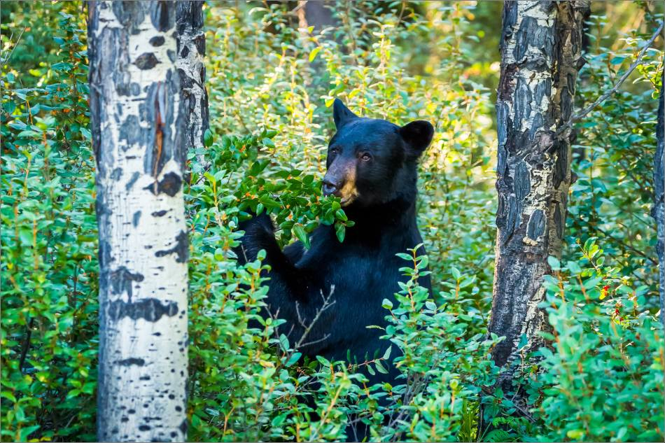 Kananaskis Black bear in Buffalo berries - © Christopher Martin-0915