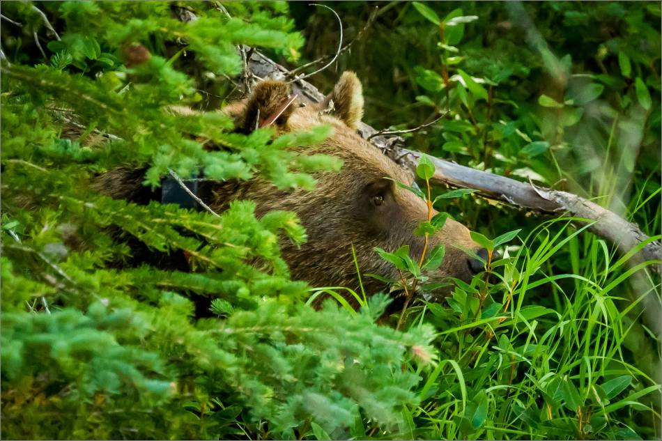 Kananaskis Grizzly 152 - © Christopher Martin-1000