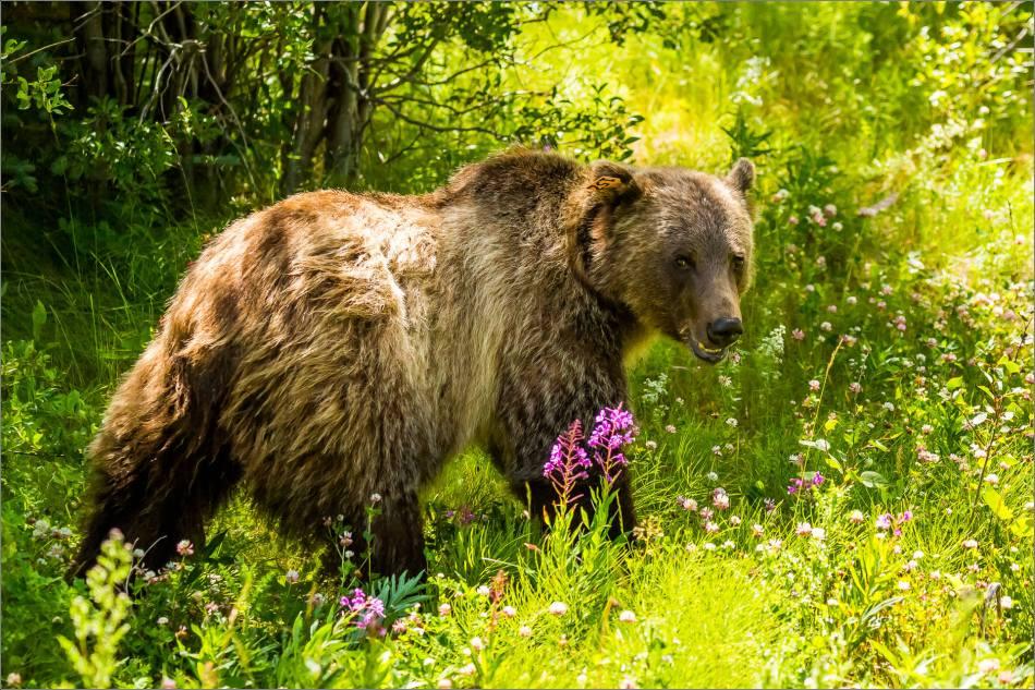 Kananaskis Grizzly 152 - © Christopher Martin-1046