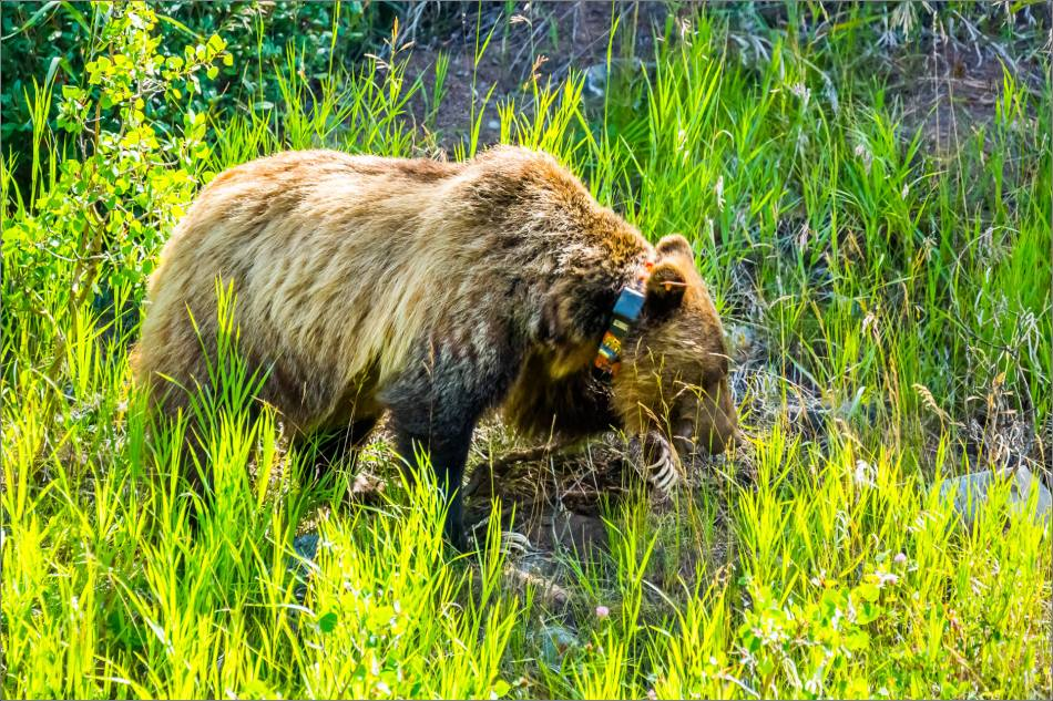 Kananaskis Grizzly 152 - © Christopher Martin-1162