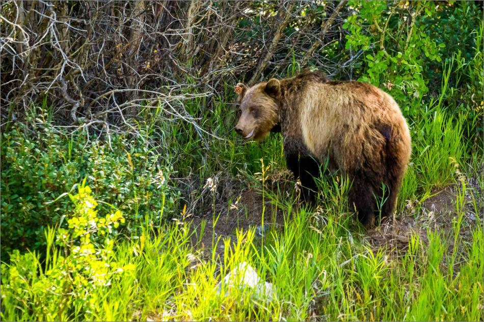 Kananaskis Grizzly 152 - © Christopher Martin-1176
