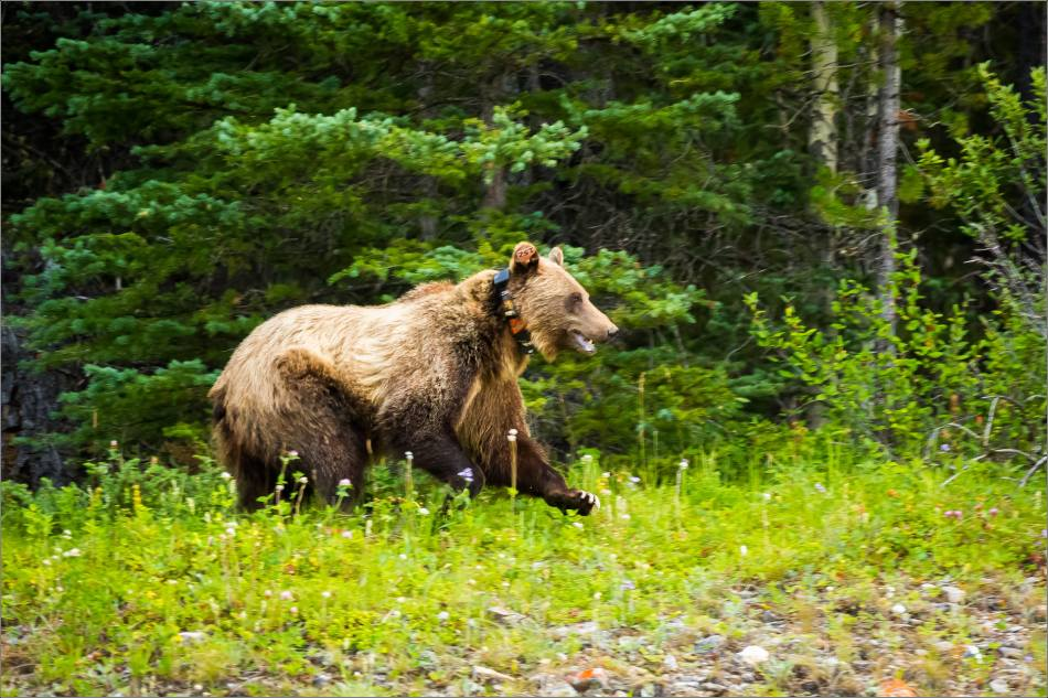 Kananaskis Grizzly 152 - © Christopher Martin-1277