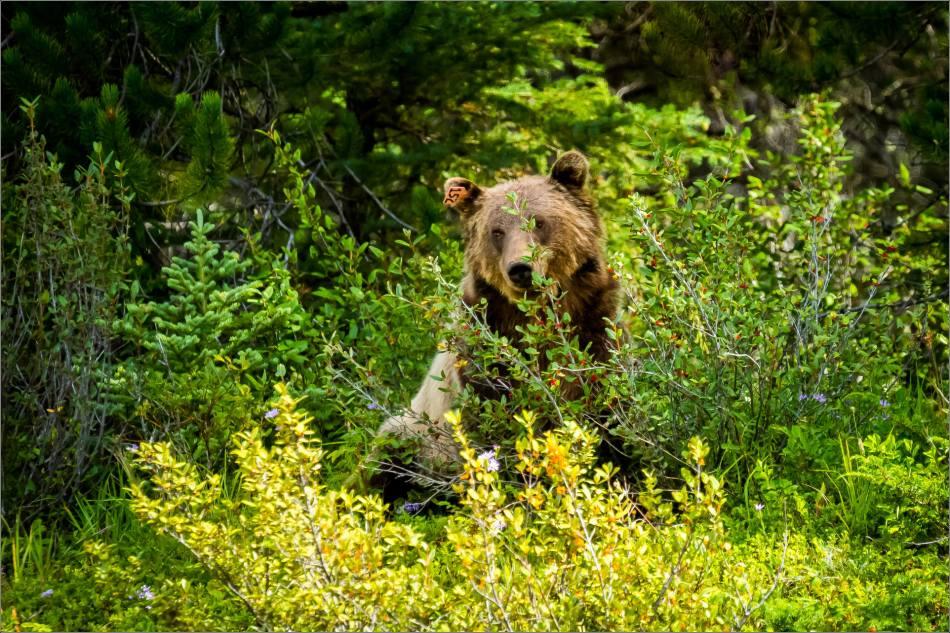 Kananaskis Grizzly 152 - © Christopher Martin-1335