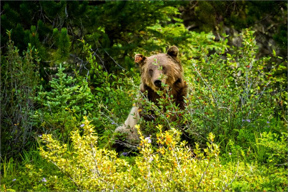 Kananaskis Grizzly 152 - © Christopher Martin-1335