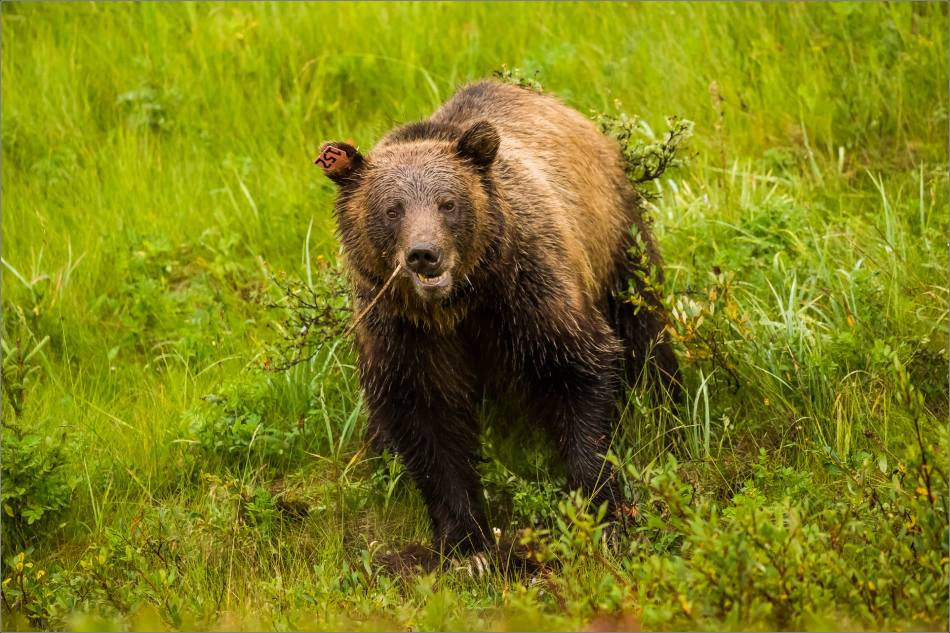 Kananaskis Grizzly 152 in the rain - © Christopher Martin-2505