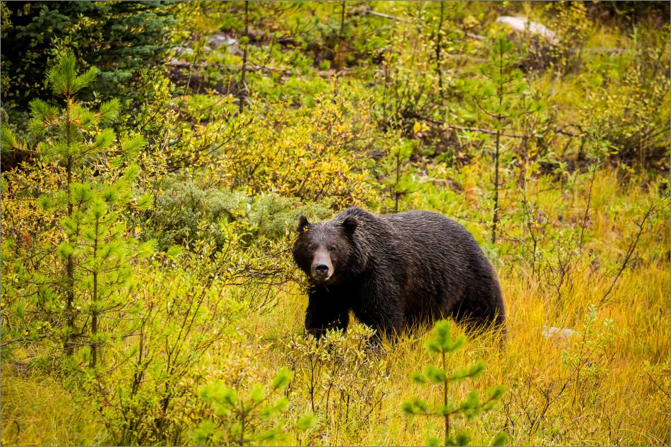 autumn-grizzly-in-the-banff-national-park-christopher-martin-4182