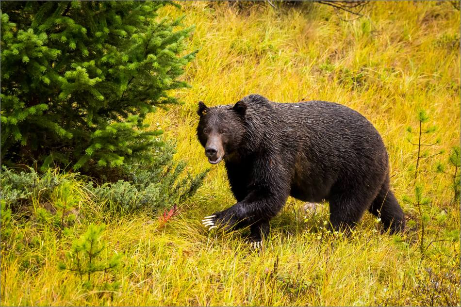 autumn-grizzly-in-the-banff-national-park-christopher-martin-4206