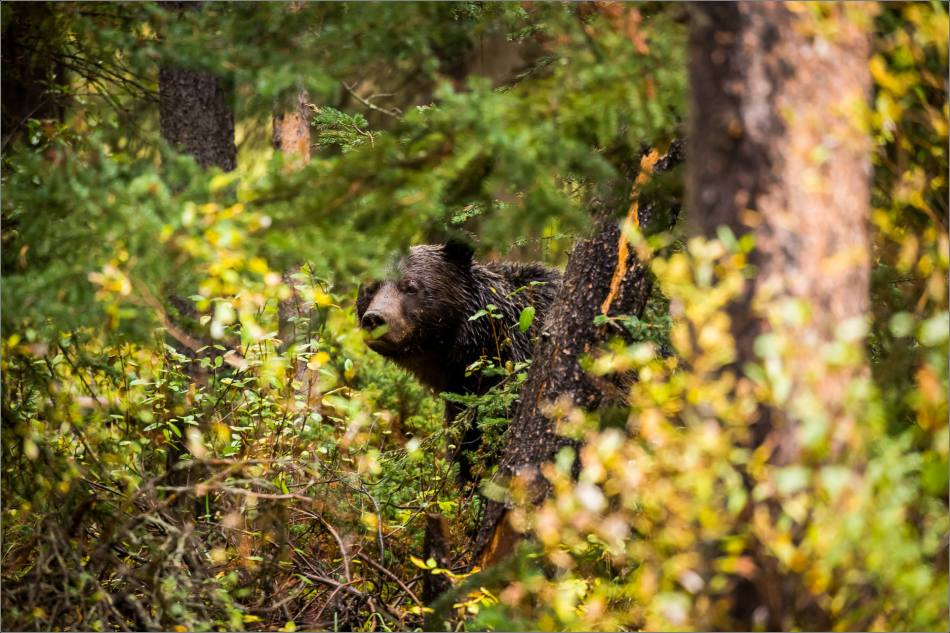 autumn-grizzly-in-the-banff-national-park-christopher-martin-4234