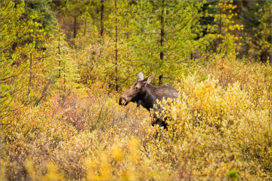 autumn-moose-in-the-banff-national-park-christopher-martin-4095