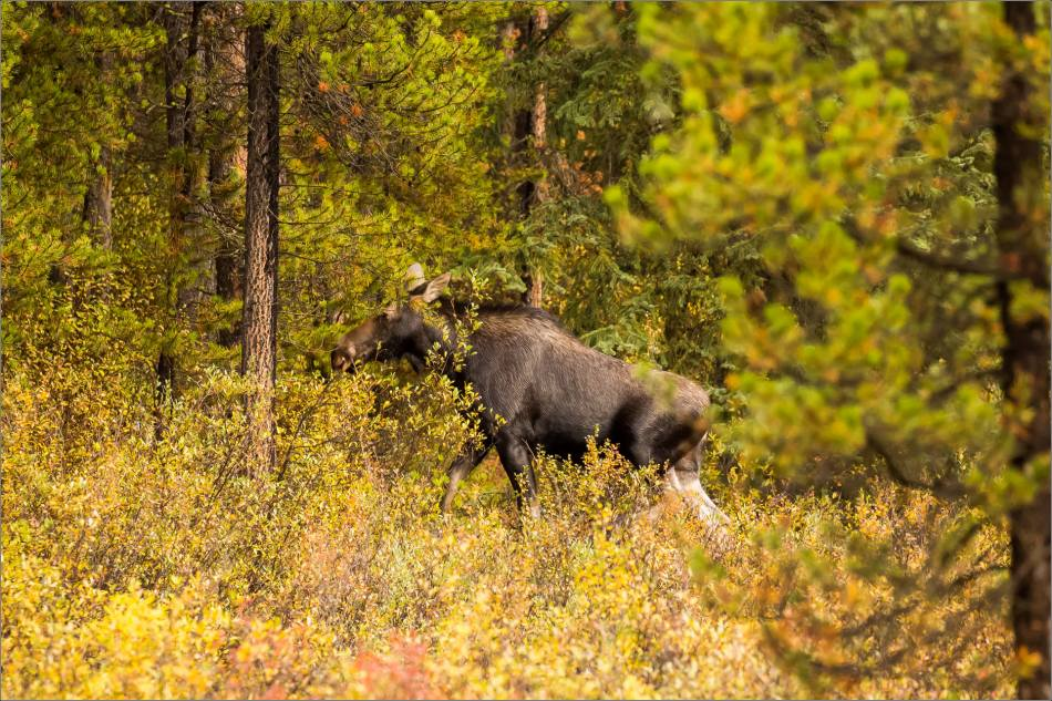 autumn-moose-in-the-banff-national-park-christopher-martin-4104