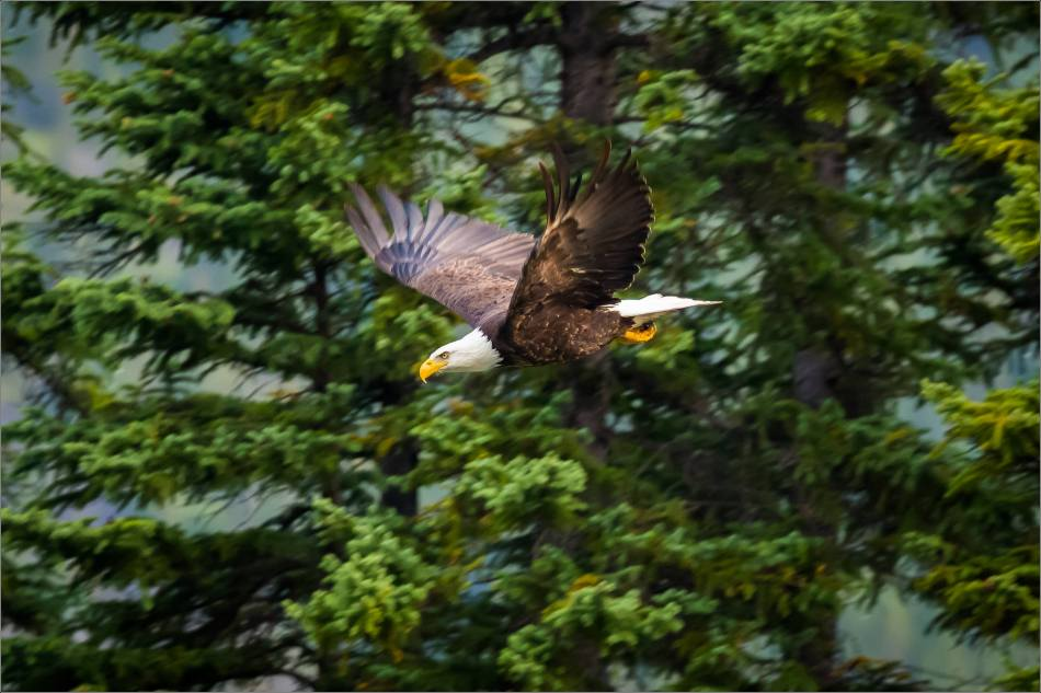 eagles-in-flight-over-the-lorette-ponds-christopher-martin-2971