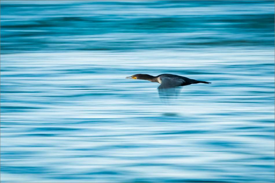 inglewood-cormorant-blur-christopher-martin-7014