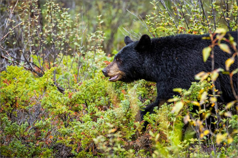 jasper-black-bear-in-the-bushes-christopher-martin-3664