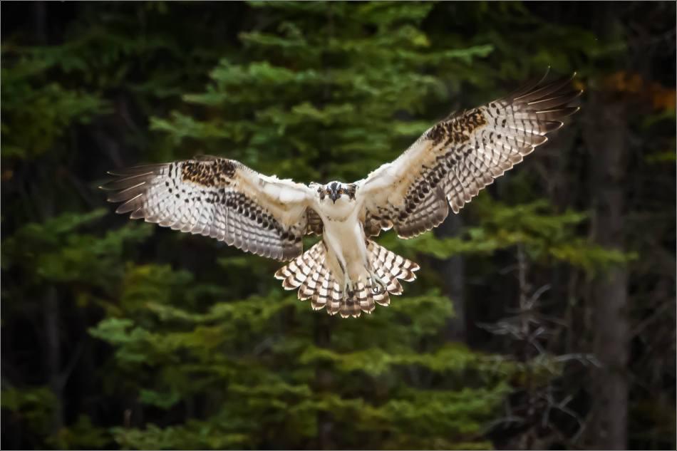 Osprey in flight - © Christopher Martin-0871