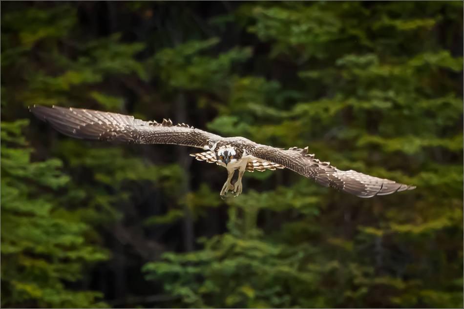 Osprey in flight - © Christopher Martin-0876