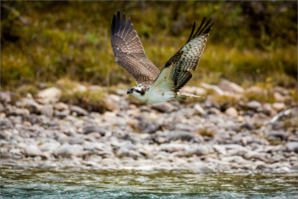 Osprey fish fight - © Christopher Martin-0962