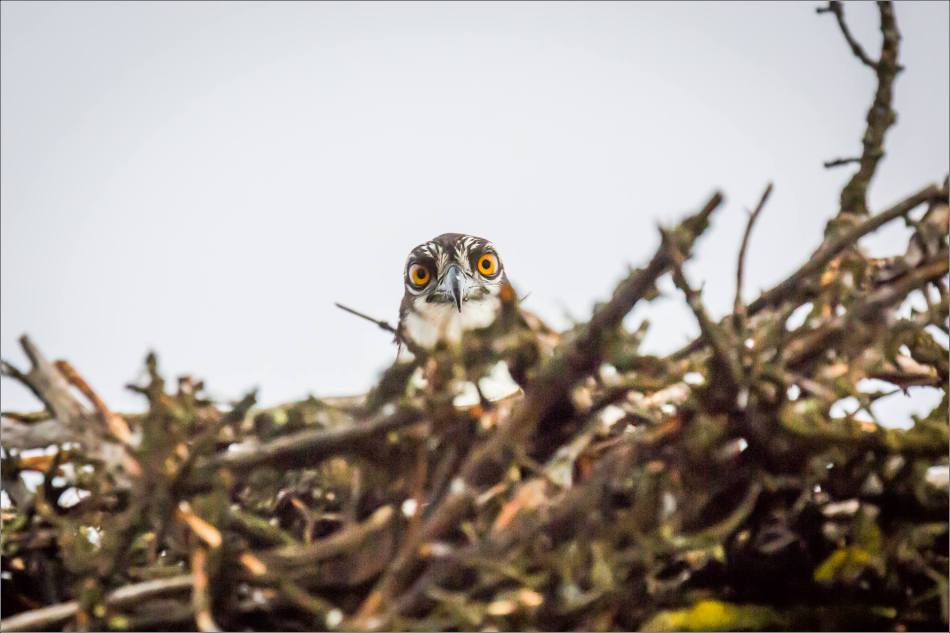 Osprey on the nest - © Christopher Martin-7707