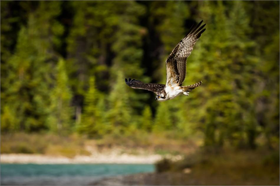 Osprey fishing flight - © Christopher Martin-8049