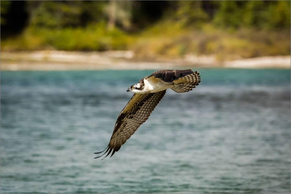 Osprey fish flight - © Christopher Martin-8051