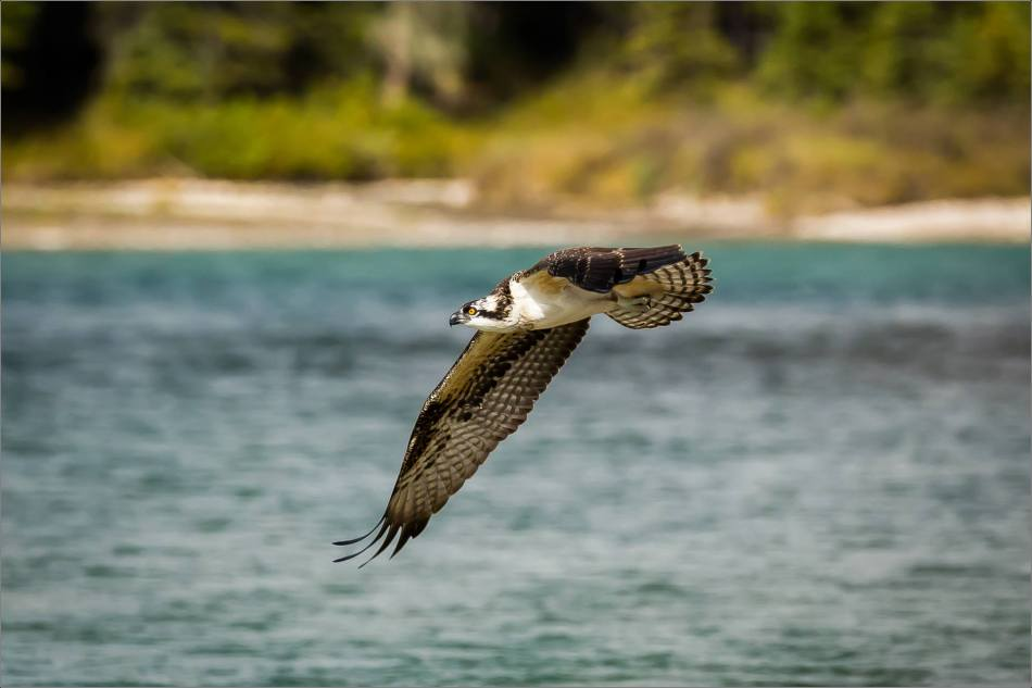 Osprey fish flight - © Christopher Martin-8051