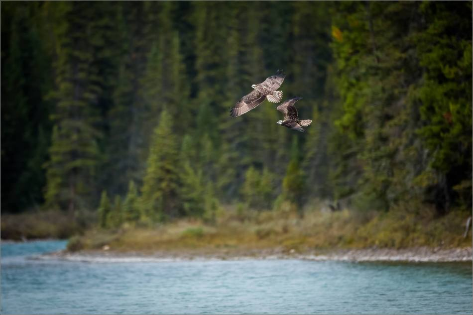 Ospreys in flight - © Christopher Martin-8684