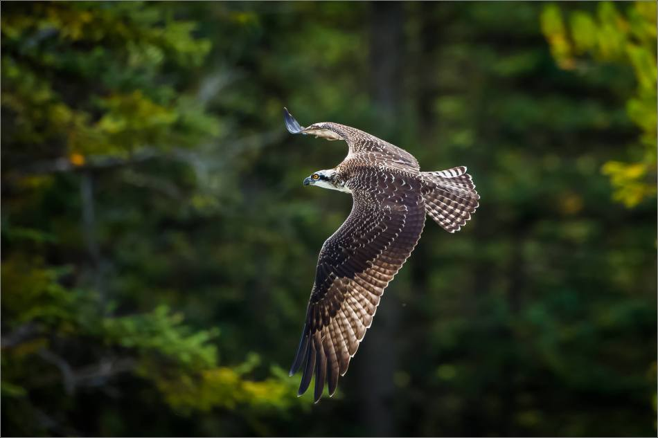 Osprey banking in flight - © Christopher Martin-8729