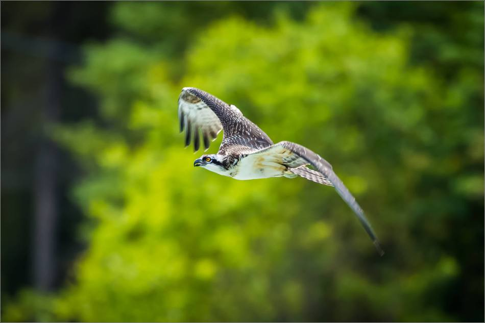 Banff Osprey in flight - © Christopher Martin-8733