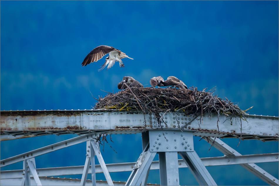 Ospreys around their nest - © Christopher Martin-8807