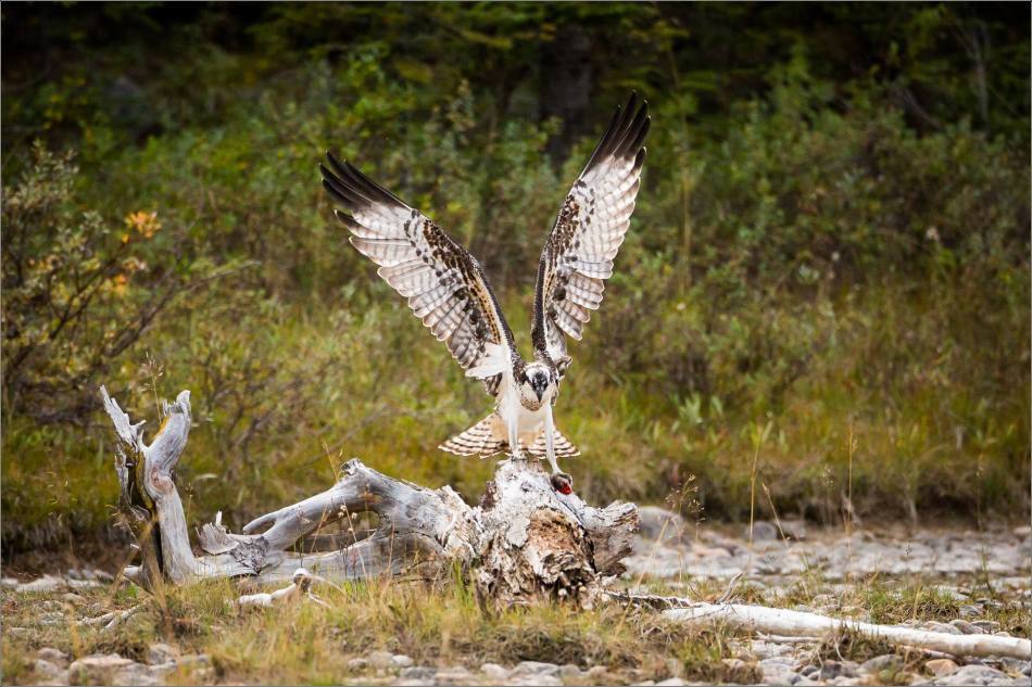 ospreys-fighting-over-a-fish-christopher-martin-0239