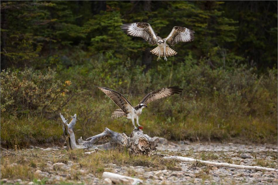 ospreys-fighting-over-a-fish-christopher-martin-0300