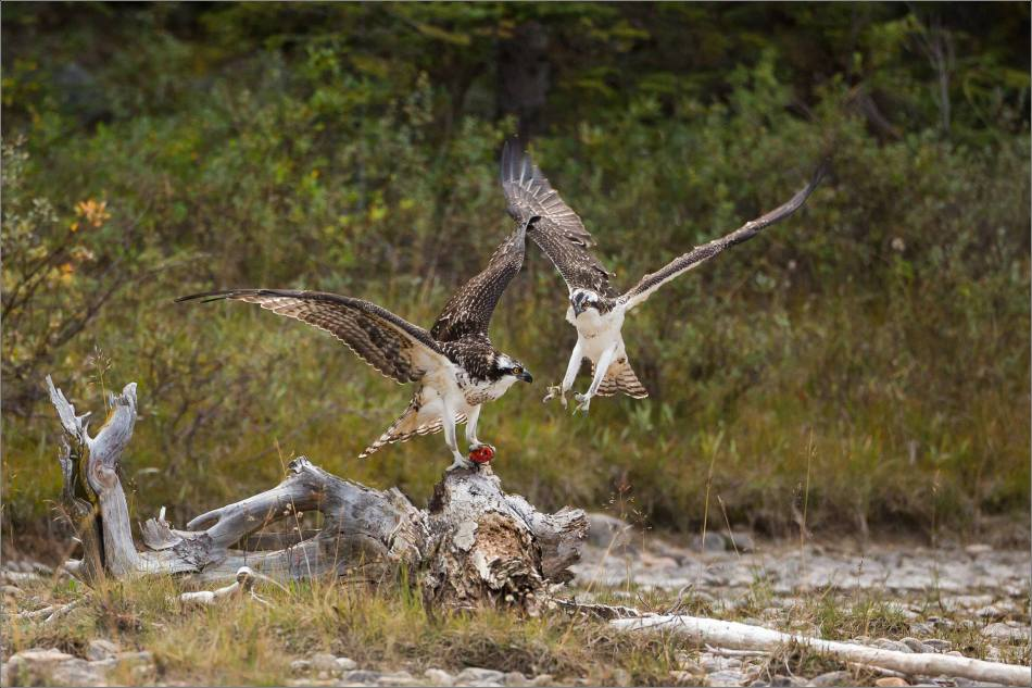 ospreys-fighting-over-a-fish-christopher-martin-0307