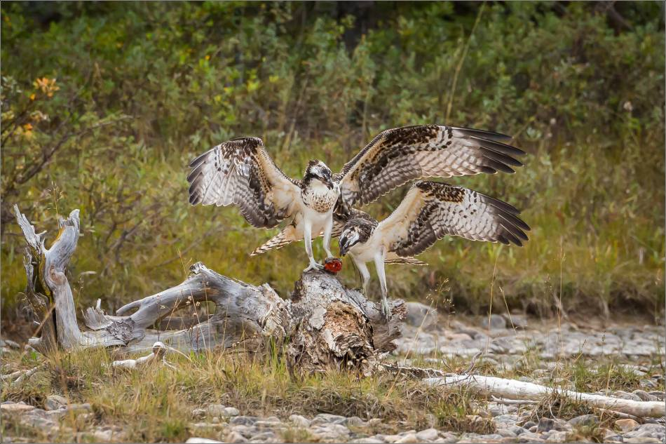 ospreys-fighting-over-a-fish-christopher-martin-0314