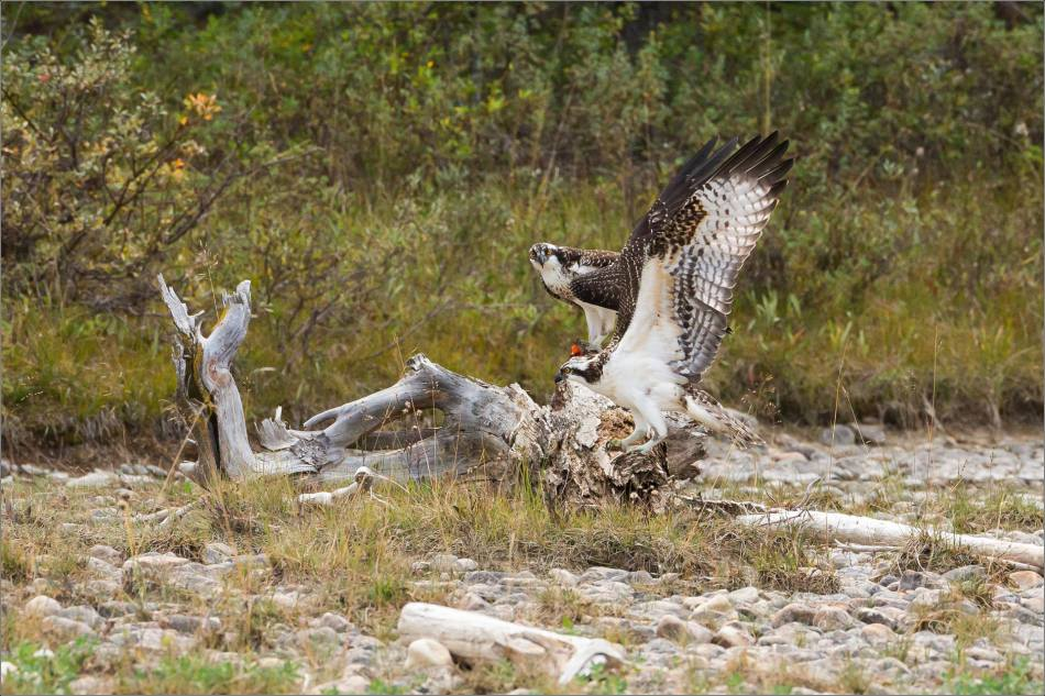 ospreys-fighting-over-a-fish-christopher-martin-0368