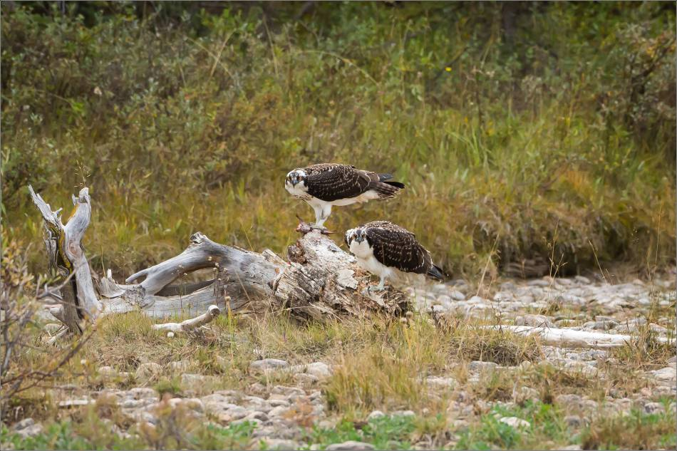 ospreys-fighting-over-a-fish-christopher-martin-0407