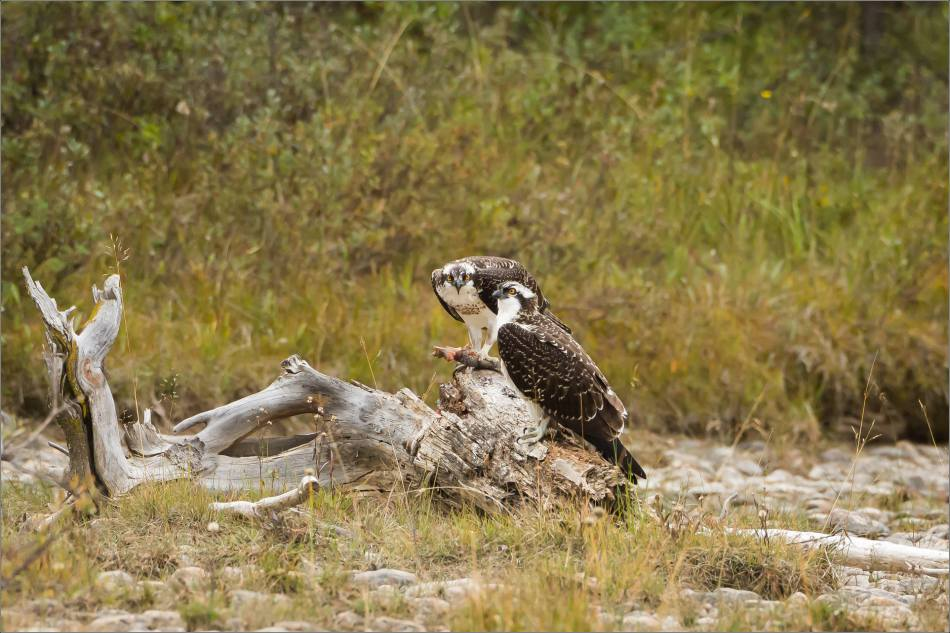 ospreys-fighting-over-a-fish-christopher-martin-0572