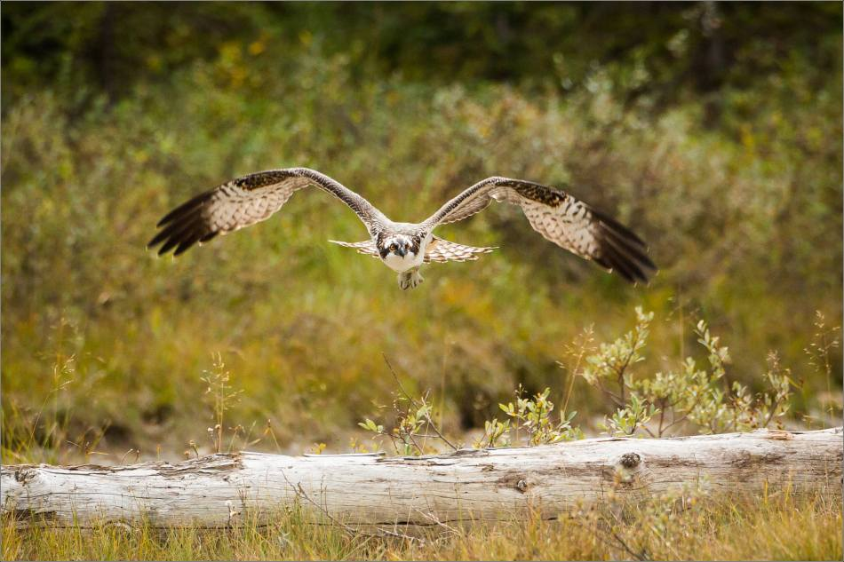 ospreys-fighting-over-a-fish-christopher-martin-0881