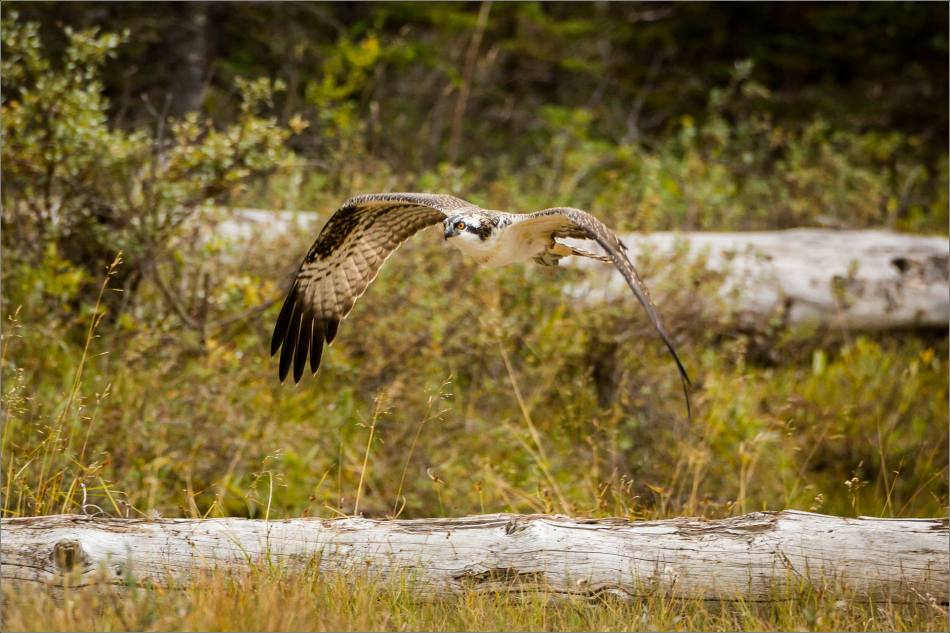 ospreys-fighting-over-a-fish-christopher-martin-0954