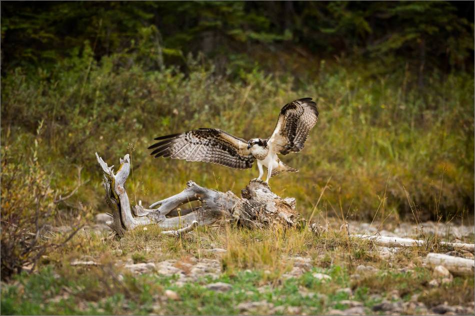 ospreys-fighting-over-a-fish-christopher-martin-1074