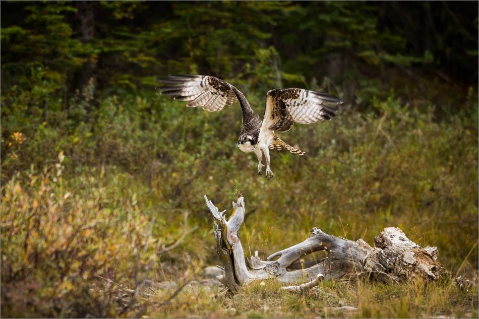 ospreys-fighting-over-a-fish-christopher-martin-1092