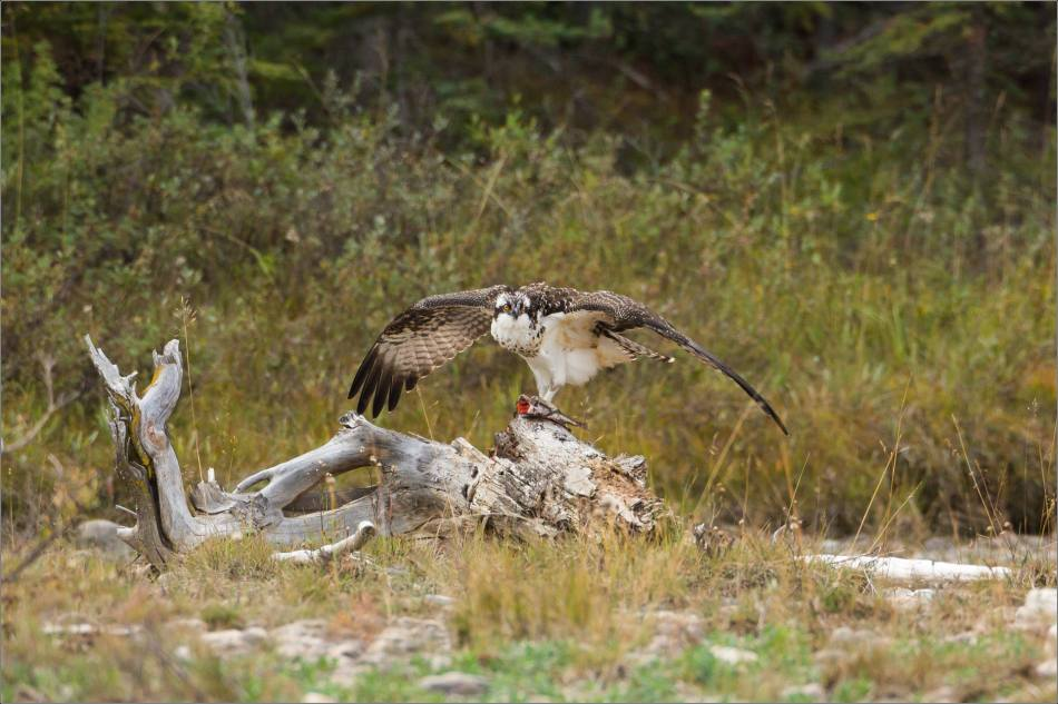 ospreys-fighting-over-a-fish-christopher-martin-9449