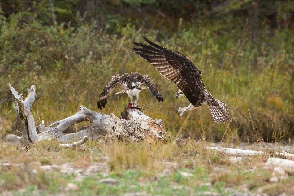 ospreys-fighting-over-a-fish-christopher-martin-9457