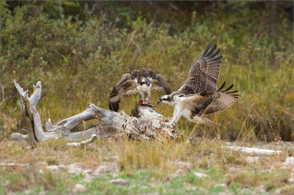 ospreys-fighting-over-a-fish-christopher-martin-9458