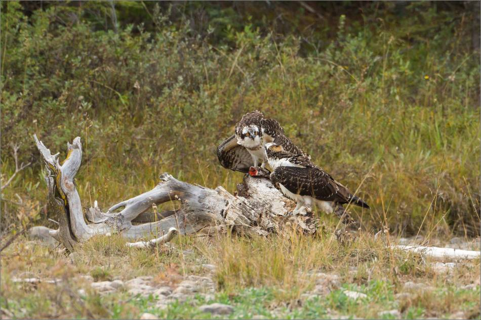 ospreys-fighting-over-a-fish-christopher-martin-9465