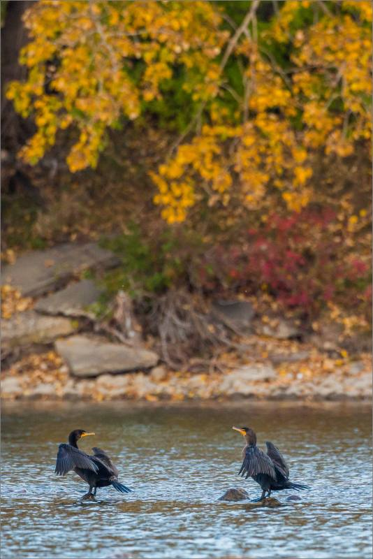 double-crested-cormorants-on-the-bow-river-in-calgary-alberta-canada-christopher-martin-8395